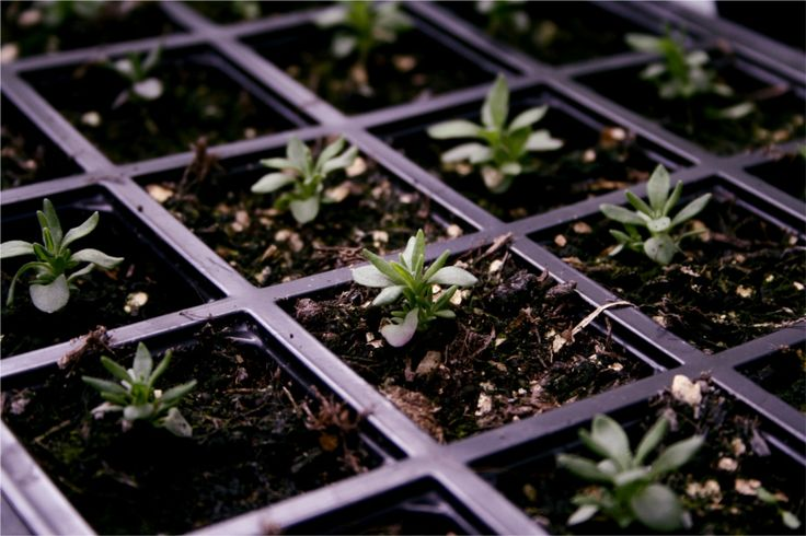 How to Grow Lavender from Seed Tutorial