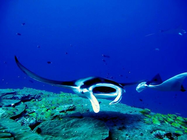 Maldives     Manta Point is a diving area where you can enjoy seeing large numbers of manta rays being fed and cleaned by wrasses  #maldives #vacation