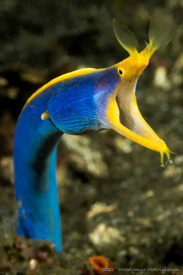 Blue ribbon eel with wide open mouth.