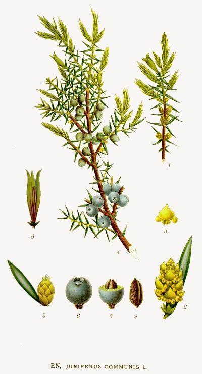 Juniperus communis - Enebro