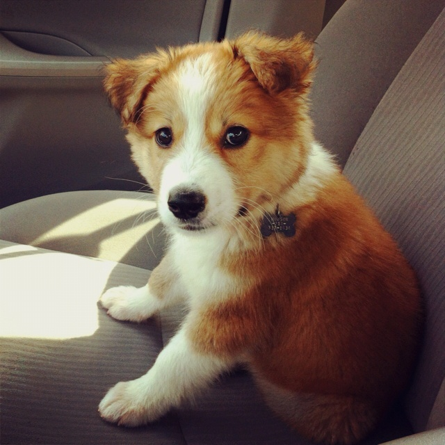collie shepherd mix puppy! | everything about me | Pinterest | Collie ...