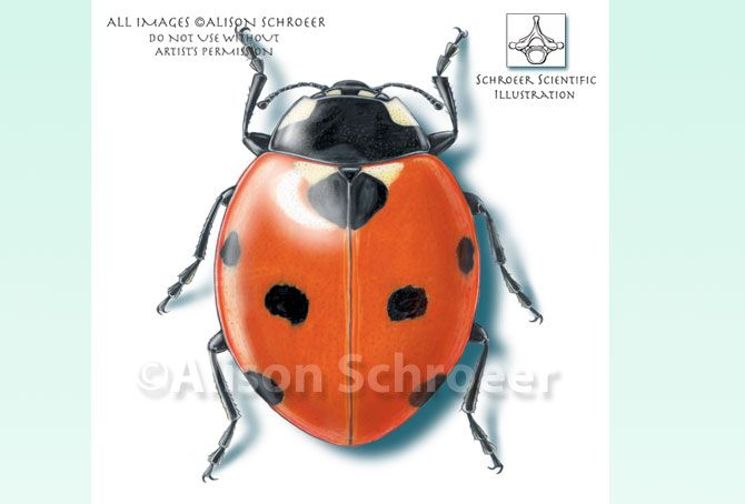 Seven-spotted ladybug illustration, Coccinella septempunctata - ©2006 Alison Schroeer
