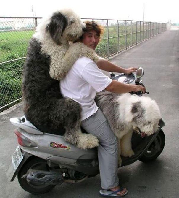 огромные собаки, которые считают себя щенками (17)