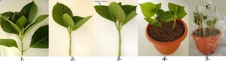 Rooting hydrangea cuttings - gardenfuzzgarden.com