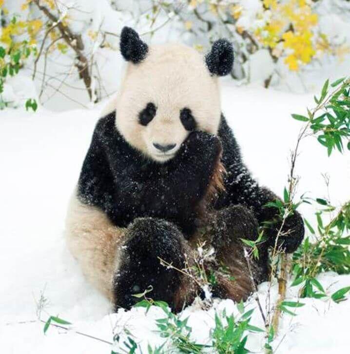 Panda im Schnee (c) Tiergarten Schönbrunn