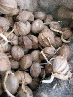 "Hickory Nuts - ""shellbarks"" - their history, plus cooking mush in their ""milk""Ancient Harvest, Cooking Mush, Hickory Nut, Nature Collection, Colors Palettes, Breakfast Recipe, Foraging Food, Food Exploration, Harvest Nut"