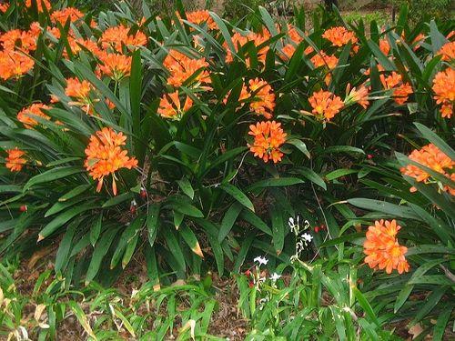 flores jardim perenes : flores jardim perenes: Plantas De Sol Pleno no Pinterest