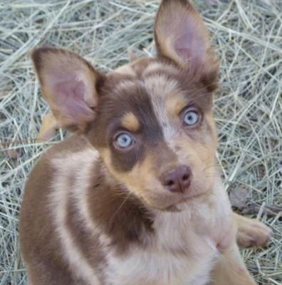 German Coolie: Animal Lovers, German Cooli, Blue Eye, Cooli Pet, Baby, German Shepherd, Extraordinary Animal, Beautiful Dogs, Dogs Photo