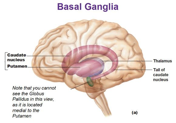 basal ganglia caudate nucleus and putamen and thalamus and tail of caudate nucleus