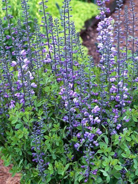 Serenity in the Garden: 'Purple Smoke' - The best Baptisia