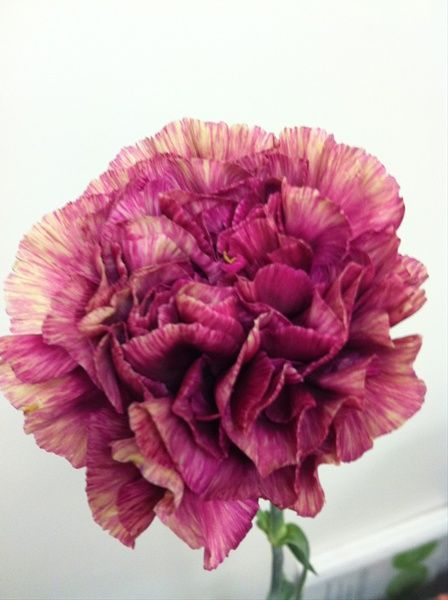 Purple Hurricane - Standard Carnation - Carnations - Flowers by category | Sierra Flower Finder