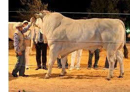 Chianina bull, imagine a string of bulls like this that buck!