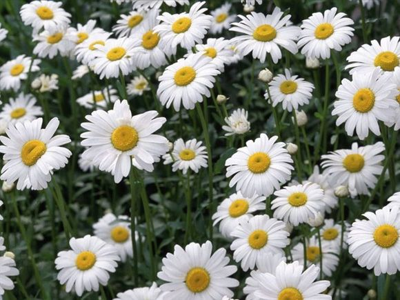 """She/He loves me, she/he loves me not"". Daisies represent purity, loyal love and are symbol of innocence."