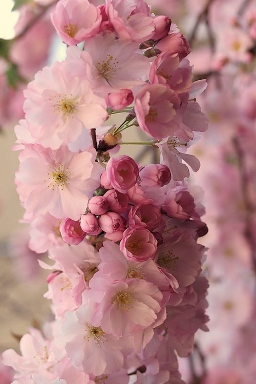 Cherry Blossoms by Wolfgang Lonien.