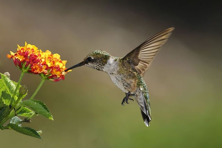 Flowers For Hanging Baskets That Attract Hummingbirds : Best images about gardening and living walls on