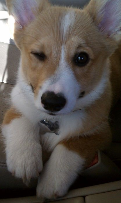 """Wink. I'm pretty sure it's how Corgis say """"I understand exactly what you just said, but I'm going to pretend I didn't and continue to stare at you because you MIGHT drop some food."""""""