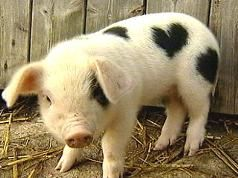 Piggy with spot shaped like a heart.
