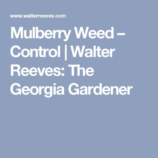 Mulberry Weed – Control | Walter Reeves: The Georgia Gardener