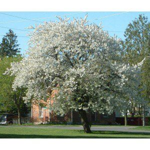 About & Species     GROWING INFORMATION                       Black Cherry(Prunus serotina)               The Black Cherry tree grows up to 50 to 60 feet in height. The Black Cherry Tree is a common sight in the Eastern United States. The fruits are used for m
