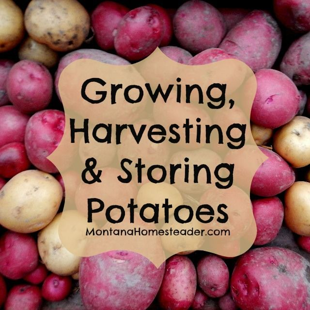 How to grow, harvest and store potatoes. Why you need to know about potato blight and growing organic potatoes.   Montana Homesteader
