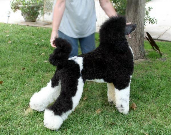 Major from Sisco's Distinctive Poodles