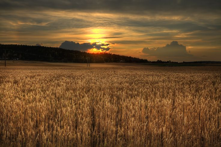 Sunset over the wheatfield by Nils Erik Palm Fauske on 500px