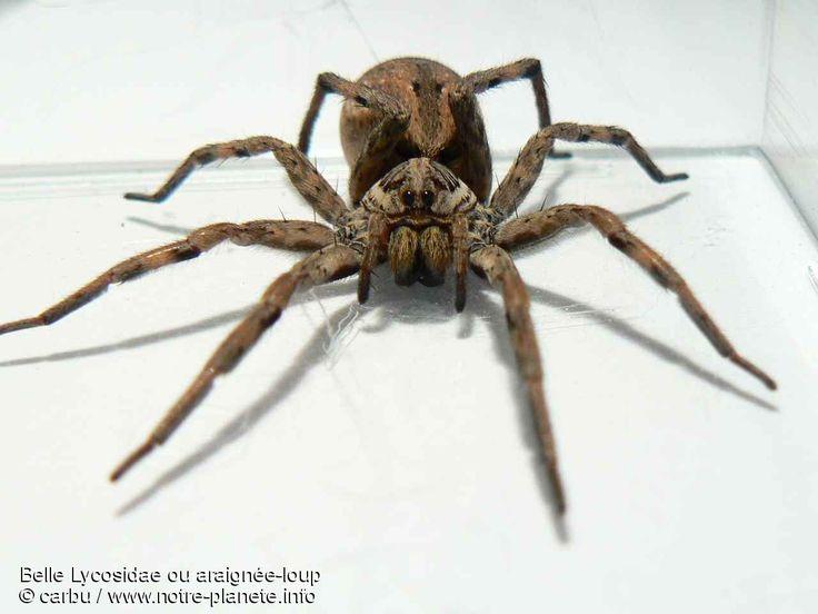 les 28 meilleures images du tableau araign e dangereuses sur pinterest araign e dangereuse. Black Bedroom Furniture Sets. Home Design Ideas