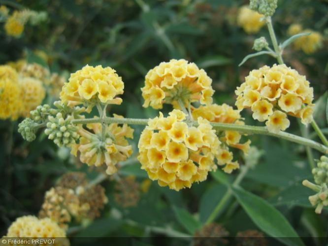 buddleja x weyeriana 39 sungold 39 nom commun arbres aux papillons buddleia de weyer fleurs. Black Bedroom Furniture Sets. Home Design Ideas