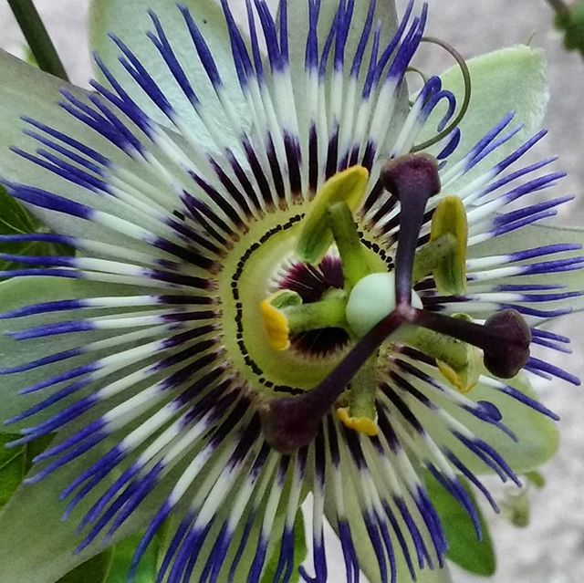 Nature Is Amazing These Passion Flowers Remind Me Of My Grandmother She Had One In Her Garden In Wales Passionflower Passion Flower Climbing Plants Flowers