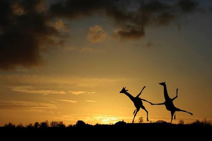 Giraffes fooling around..