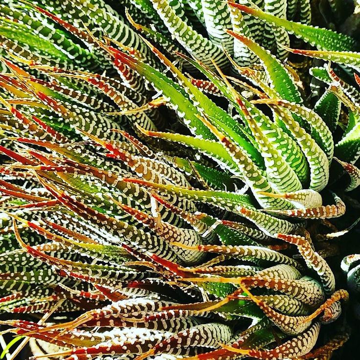 Some kind of #succulents ..looks weirdly pretty. . Anyone knows it's name?  #nature #green  #wollongong