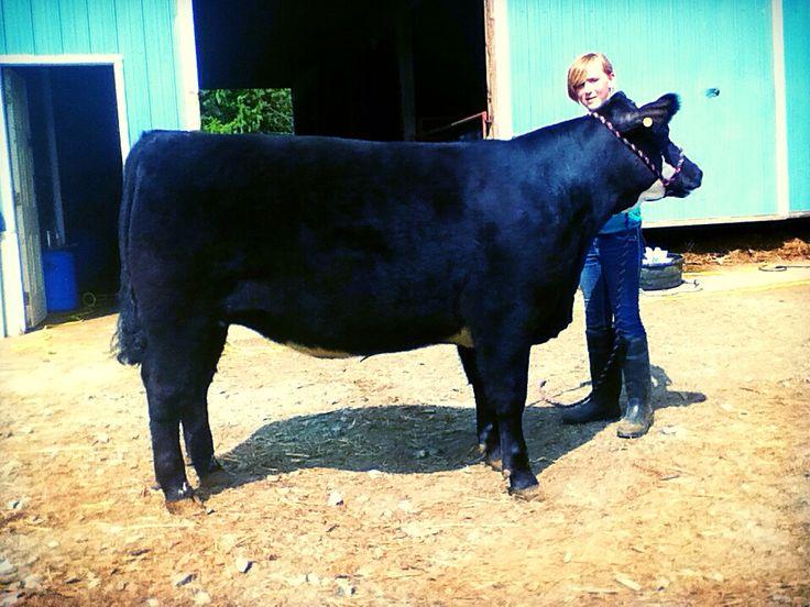 My heifer