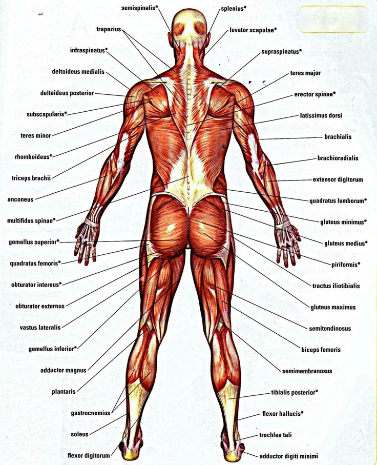 15 best human anatomy images on pinterest | human anatomy, health, Muscles