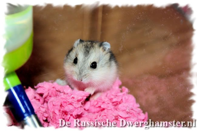 dwerghamsters carefresh #dwerghamster #russischedwerghamster #hamster