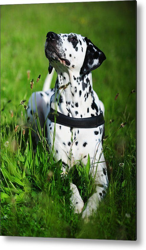 Heads Up. Kokkie. Dalmation Dog Metal Print by Jenny Rainbow.  All metal prints are professionally printed, packaged, and shipped within 3 - 4 business days and delivered ready-to-hang on your wall. Choose from multiple sizes and mounting options.