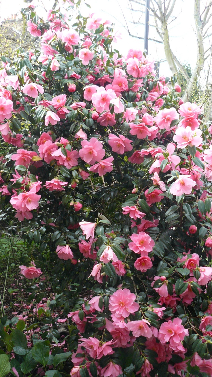 Camellia shade camellia japonica evergreen blooming flowering shrubs - Blooming shrubs ...