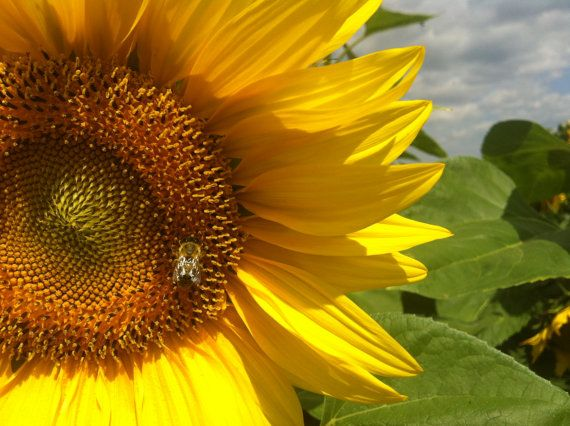 The bee and the sunflower - available on canvas - photo