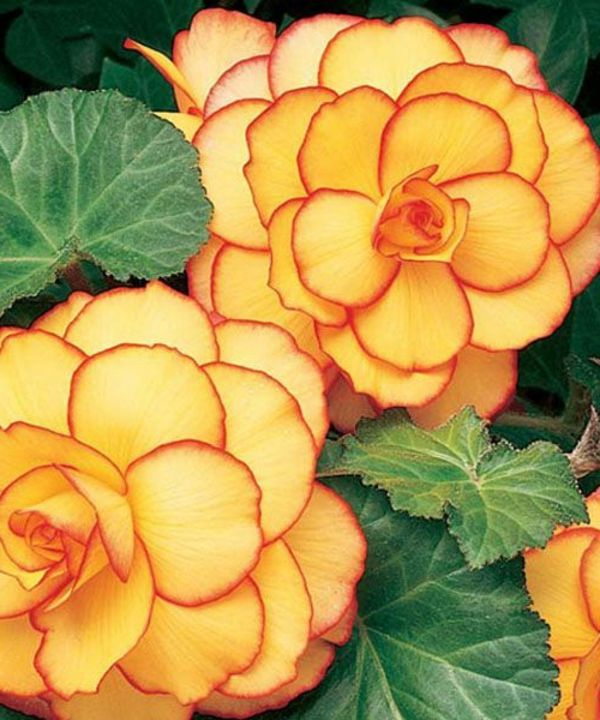 Begonia Care What The Beautiful Begonias Need To Thrive Well Pflanzen Blumen Anbauen Exotische Blumen