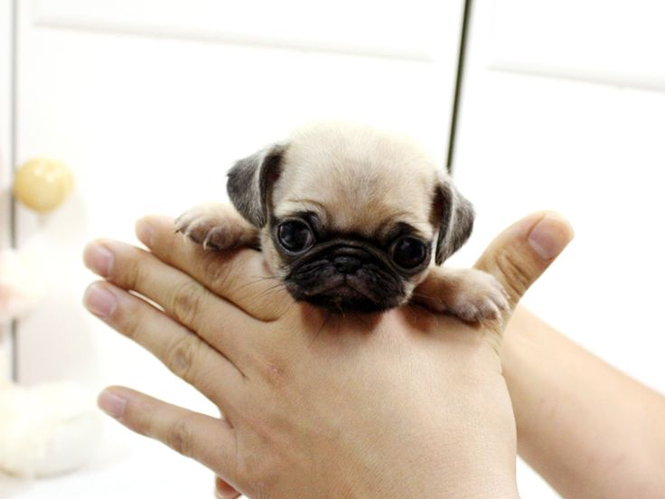 Teacup Pug - cute dog but it looks like the person holding it is strangling the poor thing