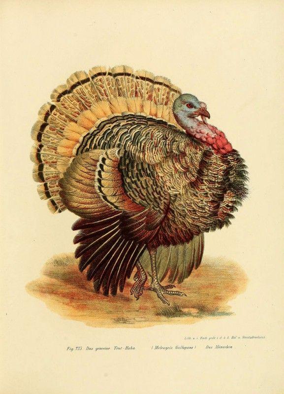 Best 25 Thanksgiving turkey pictures