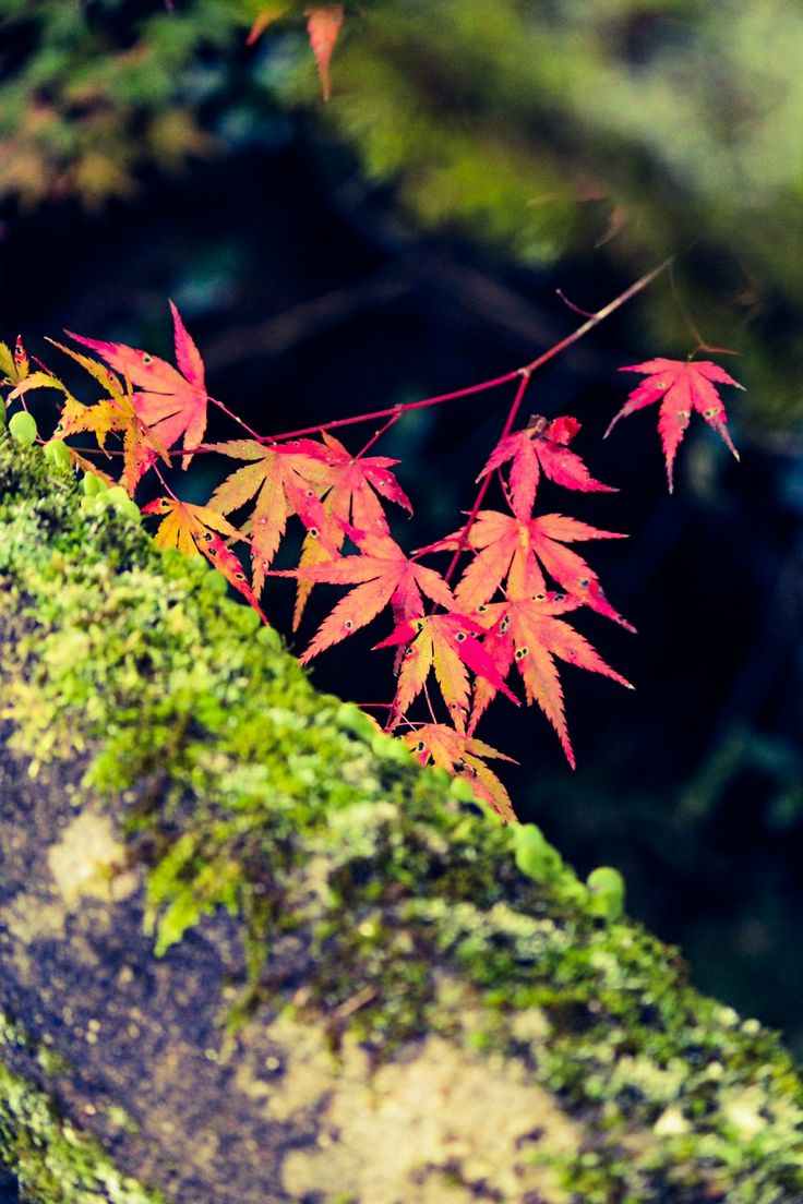 紅葉 箕面