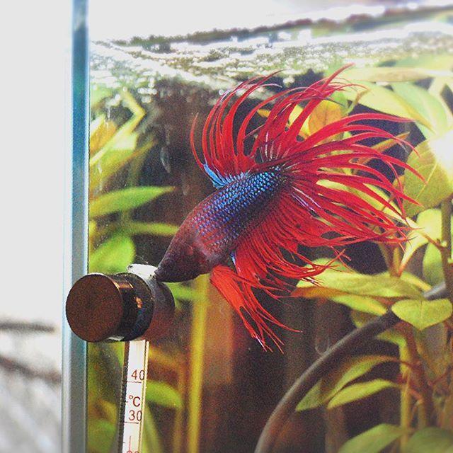 【totomi.axolotl】さんのInstagramをピンしています。 《朝の水槽😍紅緒〜〜💕 #朝の水槽 #クラウンテール #ベタ #betta #bettalove #bettatank #crowntailbetta #crowntail #ベタにベタ惚れ #またベタな #アクアリウム #aquarium #aquariumlife #aquamarine #aqua #フレアリング》