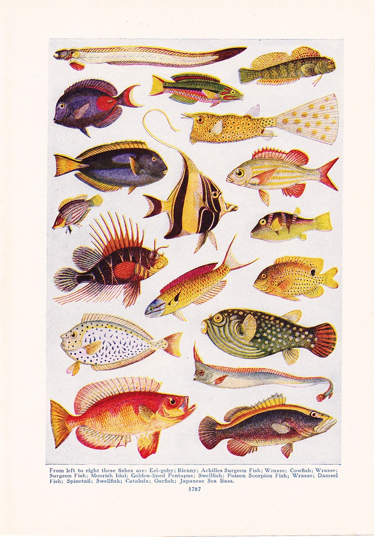 1947 Fish Print - Vintage Antique Home Decor Art Illustration for Framing. $10.00, via Etsy.