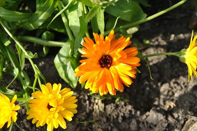 Nechtík je rastlinka, ktorá je krásna i liečivá zároveň. Kvety nechtíka sa s východom slnka otvárajú a do dňa nám naplno žiaria nádhernými farbami. Nechtík má mnoho využití v ľudovom liečiteľstve a…