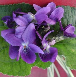 Viola odorata 'Donau' - Duft-Veilchen