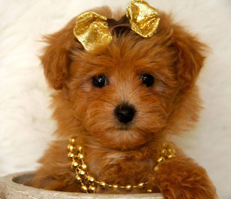 Maltipoo Cute Puppy Puppy Animales