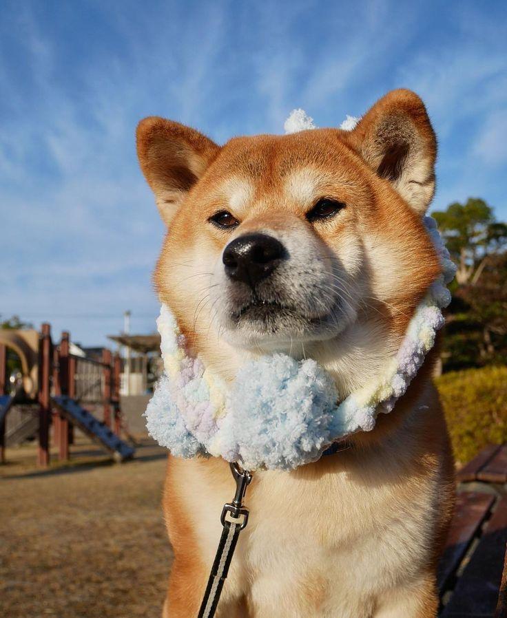 #scarf  It doesn't look good@matsubaramiho ミポリンさんとこで焼売とクッキー買ってゲットした @shibainuinari  いなちゃんママ手作りマフラー早速、今朝の散歩でつけてみた〜♬ミポリンさんいなちゃんママありがと〜〜貫禄✖️パステルカラー=似合わない#いなりマフラー#似合わなさ#ハンパねー#似合わないだろうなとは思ってたけど#予想通り#黒兵衛 #大肉焼売 #大肉焼売復活プロジェクト #黒兵衛のオマケがただごとじゃない#パステルカラーの似合わなさがただごとじゃない#似合わんけどマフラーはめちゃ可愛い❤️#柴犬 #べりやん #berry #shiba #shibainu #doge#shibainumania #shibastagram #ぷにっと部 #口角キュキュッと部  #チーム俺様 →部員絶賛募集中  #Regram via @shibai