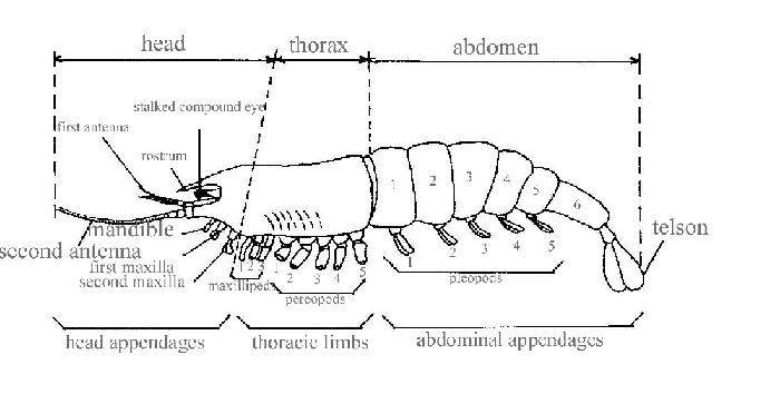 arthropod diagram phylum arthropoda pinterest : arthropod diagram - findchart.co