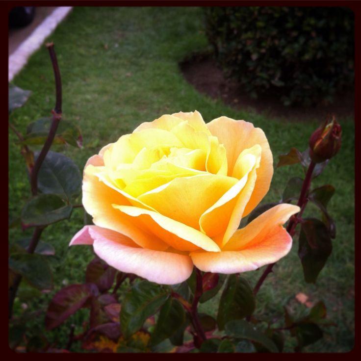 Rosa #rosa #rose #flor #flower  #jardin