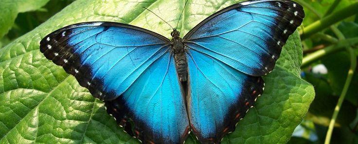 Blue Morpho Butterfly (Morpho peleides) | Rainforest Alliance
